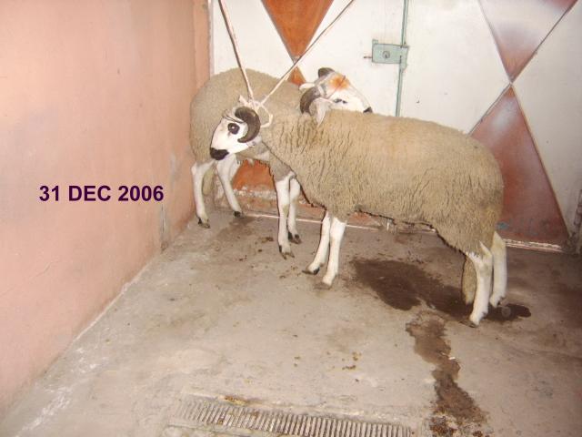 MOUTON 2006  2.JPG